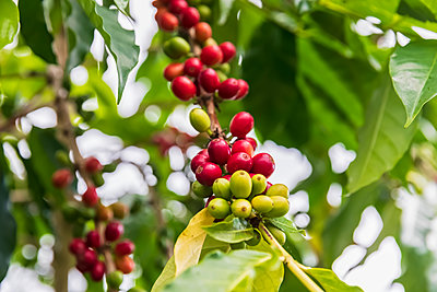 Coffee berries, close-up - p300m2103376 von Fotofeeling