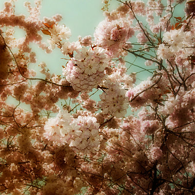 Cherry blossoms - p415m882577 by Tanja Luther
