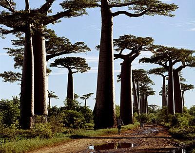 Baobabs auf Madagaskar - p1016m792559 von Jochen Knobloch