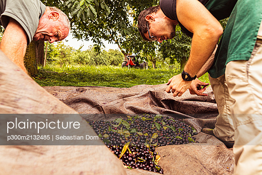 Two men during cherry harvest in orchard, sorting harvested cherries - p300m2132485 by Sebastian Dorn