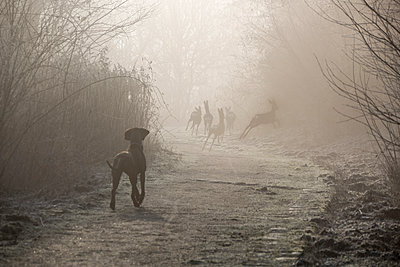 Hound watching herd of deer - p739m1119396 by Baertels