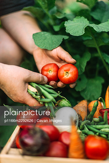 Woman holding  freshly harvested red  tomatoes  at organic farm - p1166m2292626 by Cavan Images