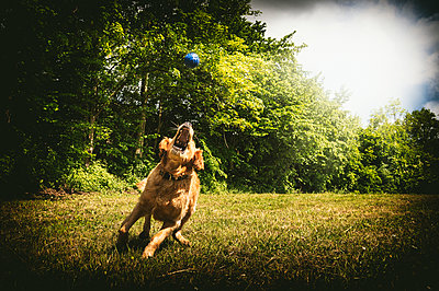 Young golden retriever snapping blue ball on meadow - p300m1153377 by Frank Röder