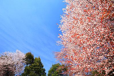 Cherry blossoms - p307m1005819f by Seigo Yamamura
