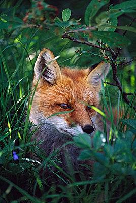 Red fox (Vulpes vulpes) - p44210194f by Design Pics