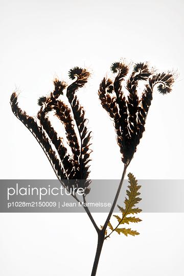 Lacy Scorpion-weed (Phacelia tanacetifolia) - p1028m2150009 by Jean Marmeisse