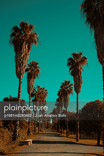 Spain, Sevilla, Palm trees - p1681m2283422 by Juan Alfonso Solis