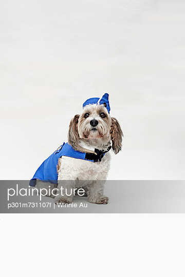 A Shorty Jack Russell Terrier wearing a retro air stewardess costume - p301m731107f by Winnie Au