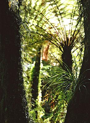Tree fern - p1016m792598 by Jochen Knobloch