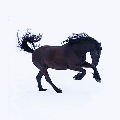 Frisian horse in winter - p300m2005365 von Tom Chance