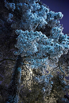 Low angle view of frosted pine tree - p528m711588f by Sara Danielsson