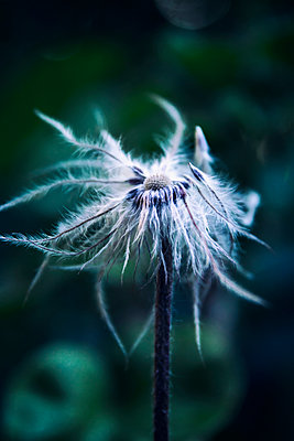 Wilted Pasqueflower - p879m2230971 by nico