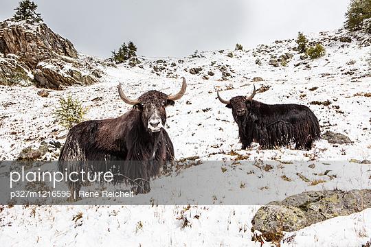 Zwei Yaks in verschneiter Berglandschaft - p327m1216596 von René Reichelt