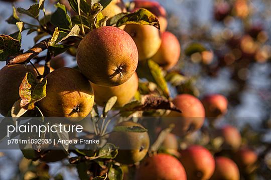 Äpfel im Abendlicht - p781m1092938 von Angela Franke