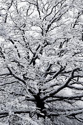 Zweige einer Eiche mit Schnee bedeckt - p1412m1503312 von Svetlana Shemeleva