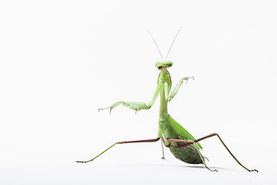Praying mantis, Mantis religiosa - p1437m2100713 by Achim Bunz