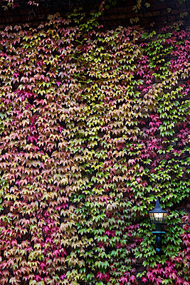 Ivy in autumnal colours covering a facade - p300m1191435 by Andrés Benitez