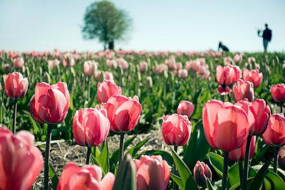 Tulip field - p880m1017159 by Claudia Below
