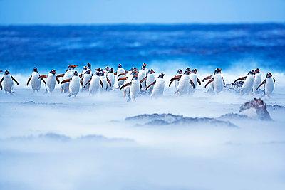 Gentoo Penguins (Pygocelis papua papua) walking through a sandstorm, Sea Lion Island, Falkland Islands, - p651m2062102 by Marco Simoni