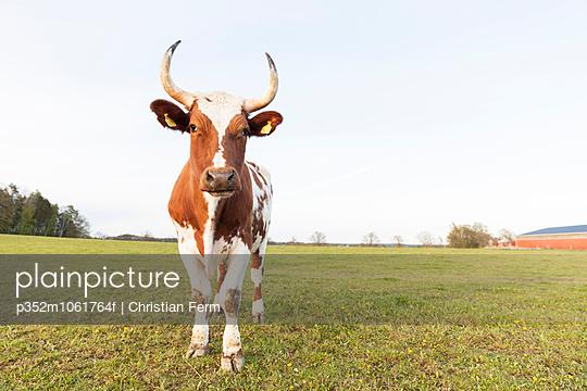 Sweden, Sodermanland, Jarna, Close-up shot of bull in farm pastureland