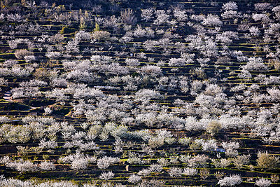 Cherry blossom in Jerte valley - p719m1563577 by Rudi Sebastian