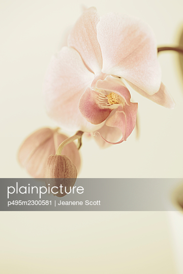 Pink Orchid plant - p495m2300581 by Jeanene Scott