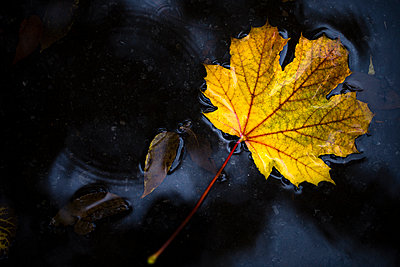 High angle view of maple leaf fallen in puddle during autumn - p1166m2111784 by Cavan Images