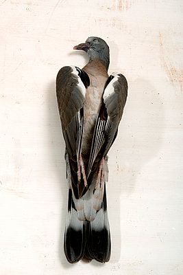 Dead Pigeon - p451m919220 by Anja Weber-Decker