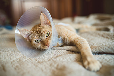 Portrait of cat with Elizabethan collar lying on bed - p300m1176176 by Ramon Espelt