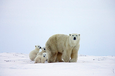 Polar Bear trio of three month old cubs following mother - p8844490 by Matthias Breiter