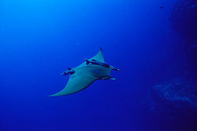 Mobula Ray swimming with attached Remoras - p8840425 by Flip  Nicklin