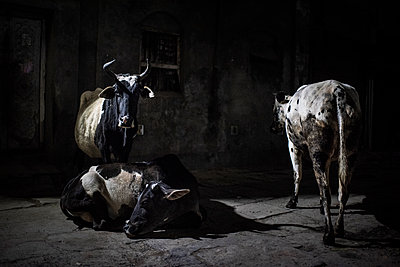 Three cows at night - p1007m2099071 by Tilby Vattard