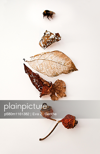 Vertrocknete Insekten und Blätter - p580m1161382 von Eva Z. Genthe