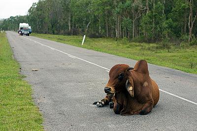 Rindvieh auf der Straße - p1016m792509 von Jochen Knobloch