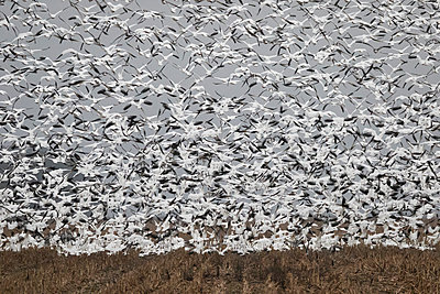 Thousands of Snow Geese blast off from a field - p1480m2148226 by Brian W. Downs