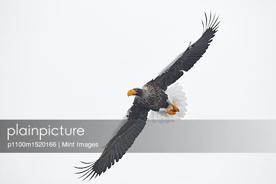 Steller's Sea Eagle, Haliaeetus pelagicus, mid-air, winter. - p1100m1520166 by Mint Images