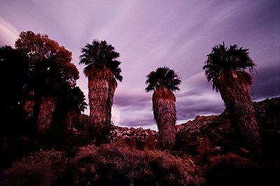 Desert Fan palms (Washingtonia filifera) at sunset, Cottonwood Springs Oasis, Joshua Tree National Park, California - p1028m2043550 von Jean Marmeisse