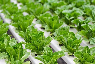 Vegetables growing in greenhouse - p300m2084004 von zerocreatives