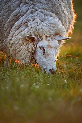 Sheep - p706m858242 by Markus Tollhopf