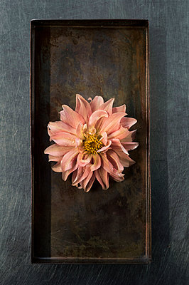 Dahlia flower - p947m2116565 by Cristopher Civitillo