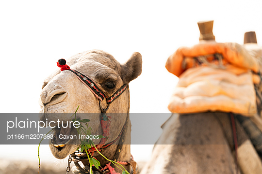 A camel eats grass in Giza, Egypt - p1166m2207898 by Cavan Images