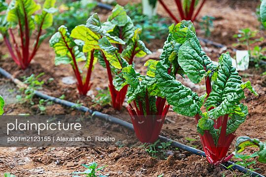 Organic red chard growing in vegetable garden - p301m2123155 by Alexandra C. Ribeiro
