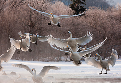 Whooper swans - p1100m887856f by Art Wolfe