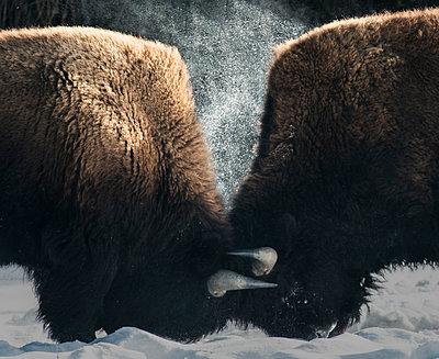 Side view of American Bison fighting - p1166m1486060 by Cavan Images