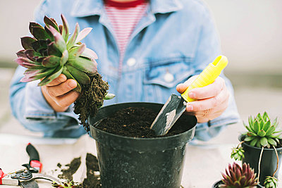 Woman's hands transplanting succulent into new pot. - p1166m2106654 by Cavan Images