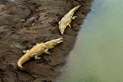 Costa Rica, Saltwater Crocodiles, Rio Tarcoles, Carara Wildlife Refuge - p651m860508 by John Coletti photography