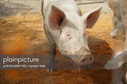 Pig - p1610m2291743 by myriam tirler