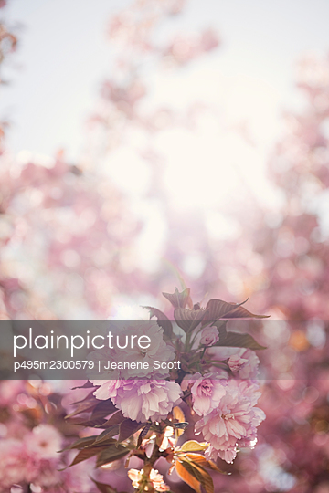 Cherry blossoms on tree - p495m2300579 by Jeanene Scott