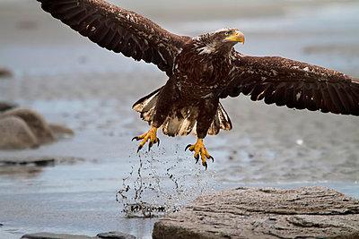 Immature Bald Eagle taking off from a beach near Deep Creek, Kenai Peninsula, Southcentral Alaska - p442m967044 by Michael Criss