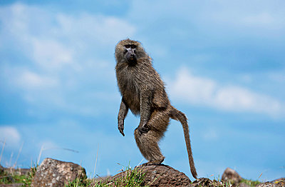 Baboon - p533m885435 by Böhm Monika